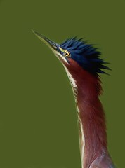 Portrait of a young green heron (Robin Wechsler) Tags: bird animal heron wildlife feathers greenheron