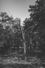 e-lias-ICC_8340-Edit (e-lias hun) Tags: forest dead tree 3518g nikon d7000 blackandwhite bnw nature