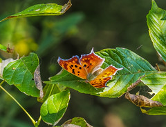 Question Mark, Autumn Colors (Shannonsong) Tags: butterflies insects lepidoptera anglewing orange questionmark autumn leaves fall mariposa papillion wings macro sunlight polygoniainterrogationis