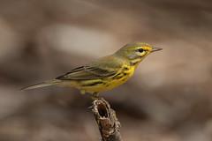 Cigúita de los prados, Prairie Warbler (Setophaga discolor) (Juan Alberto Taveras) Tags: select