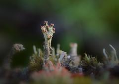 Apothecium Superstructure (jmunt) Tags: lichen cladonia