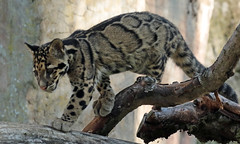clouded leopard Ouwehand 094A0041 (j.a.kok) Tags: animal asia azie cloudedleopard leopard panter panther luipaard nevelpanter neofelisnebulosa zoogdier dier mammal predator ouwehands ouwehandsdierenpark ouwehand