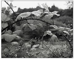 Moskva4-TriX@1600-Xtol-P-788 (device9) Tags: bw analogue analog monochrome blackandwhite shadow contrast landscape foliage trees folliage forest wood moskva4 trix xtol
