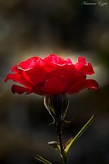 Rose (Ezzo33) Tags: nammour ezzat ezzo33 france aquitaine 33 bordeaux parc jardin sony rx10m3 fleur fleurs flower flowers rouge red mauve pink rose yelow jaune wihte blanc bleu bleue réserve roses