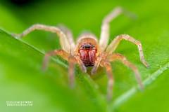 Sac spider (Clubiona sp.) - DSC_8399 (nickybay) Tags: singapore macro mandai zoo clubionidae sac spider clubiona