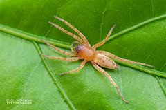 Sac spider (Clubiona sp.) - DSC_8396 (nickybay) Tags: singapore macro mandai zoo clubionidae sac spider clubiona