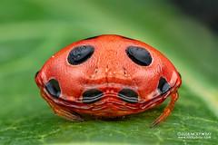 Ladybird spider (Paraplectana sp.) - DSC_8797 (nickybay) Tags: singapore macro lorongladahitam paraplectana ladybird spider araneidae