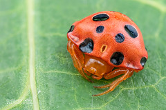 Ladybird spider (Paraplectana sp.) - DSC_8757 (nickybay) Tags: singapore macro lorongladahitam paraplectana ladybird spider araneidae