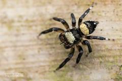 Jumping spider (Thorelliola ensifera) - DSC_8513 (nickybay) Tags: singapore macro mandai zoo thorelliola salticidae jumping spider ensifera