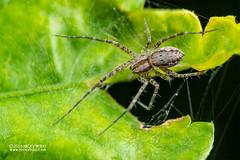 Nursery web spider (Sphedanus sp.) - DSC_8498 (nickybay) Tags: singapore macro mandai zoo sphedanus pisauridae nursery web spider