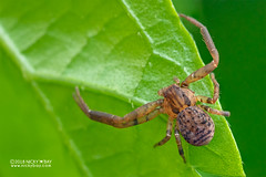 Crab spider (Pharta sp.) - DSC_8489 (nickybay) Tags: singapore macro mandai zoo thomisidae pharta crab spider