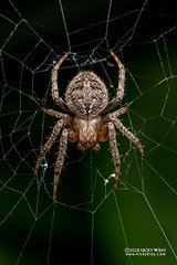 Orb web spider (Neoscona sp.) - DSC_8432 (nickybay) Tags: singapore macro mandai zoo araneidae neoscona orb web spider
