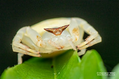 Crab spider (Thomisus sp.) - DSC_8426 (nickybay) Tags: singapore macro mandai zoo crab spider thomisidae thomisus
