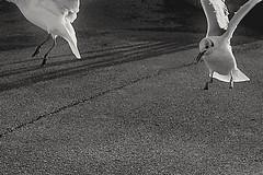 L envole (Sarah naas) Tags: photo photographie photography photograph blackandwhite noiretblanc oiseau mouettes ornithologie ornithoph bw