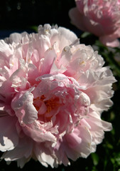peony (helena.e) Tags: helenae norrland semester holiday vacation rv husbil motorhome blomma flower pion peony rosa pink vuollerim