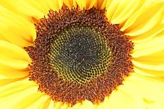 Sunflower (Susanne Weber) Tags: sunflower sun sonne sonnenblume flower blomst blume yellow gelb leuchtend light summer sommer makro macro natur nature nikon nikkor