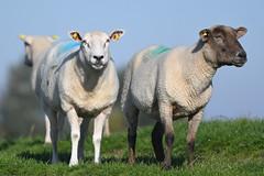 Sheeps (Susanne Weber) Tags: animal lamb lambs lämmer schaf schafe sheep sheeps dike deich northsea nordsee natur