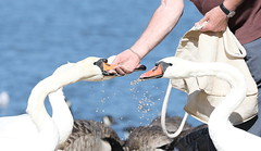 They Never Bite the Hand that feeds Them (BBGNews) Tags: ducks geese waterfowl mallard swans feedingtheducks waterside cornwall