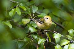 0P7A5412  Bay-breasted Warbler, Canada (ashahmtl) Tags: baybreastedwarbler bird warbler songbird fallmigration dendroicacastanea presquileprovincialpark ontario canada