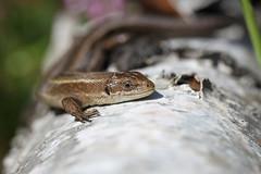 Essex Common Lizard. (ChristianMoss) Tags: viviparous lizard zootoca vivipara reptile eppingforest common outside