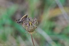 _DSC1554 (Inapapel) Tags: 100mm 2019 bioaniztasuna biodiversidad bitxos bizkaia d850 flickr nature nikon