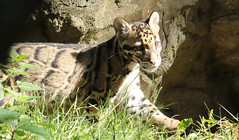 clouded leopard Ouwehand 094A0070 (j.a.kok) Tags: animal asia azie cloudedleopard leopard panter panther luipaard nevelpanter neofelisnebulosa zoogdier dier mammal predator ouwehands ouwehandsdierenpark ouwehand