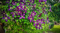 a wonderful clematis (Peters HDR hobby pictures) Tags: petershdrstudio hdr flower clematis blume waldrebe garden garten