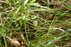 Sand Lizard (tim ellis) Tags: aggtelekinemzetipark holiday geo:lat=4851982522 geo:lon=2075100267 geotagged animal lizard sandlizard lacertaagilis jósvafő hungary geo:lat=4852023200 geo:lon=2074601267