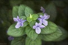 Beautiful Invader (paulgarf53) Tags: flower violet invasive nature florida garden backyard macro nikon d700 topaz topazstudio2 105mmf28exdgoshsmmacro