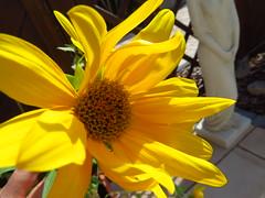 Die letzten Sonnenstrahlen genießen ... (Bea tedo) Tags: sonnenblume sunflower sonne blume pflanze blüte natur flower sun gelb yellow garten garden