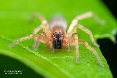 Sac spider (Clubiona sp.) - DSC_8392 (nickybay) Tags: singapore macro mandai zoo clubionidae sac spider clubiona