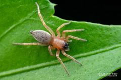 Sac spider (Clubiona sp.) - DSC_8389 (nickybay) Tags: singapore macro mandai zoo clubionidae sac spider clubiona
