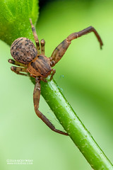 Crab spider (Pharta sp.) - DSC_8479 (nickybay) Tags: singapore macro mandai zoo thomisidae pharta crab spider