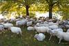 It needs only a few to lead (Peter Jaspers) Tags: frompeterj© 2019 olympus zuiko omd em10 1240mm28 eemvallei sheep autumn herfst schaap utrecht fietstocht bikingtour