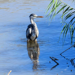 La #garza real (#Ardea cinerea) #garzareal #aves #birdsofinstagram #birds #pajaros #greyheron #river #rio #riollobregat #elpratdellobregat #elprat #espaisnaturalsdeldelta #espaisnaturals #ardeidae #ciconiiformes #bernatpescaire (Carolina_BCN) Tags: garza garzareal aves birdsofinstagram birds pajaros greyheron river rio riollobregat elpratdellobregat elprat espaisnaturalsdeldelta espaisnaturals ardeidae ciconiiformes bernatpescaire