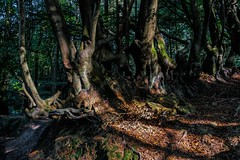 Sleepy Hollow (James Waghorn) Tags: shadows dorking tree sonyrx100m3 leaves autumn roots moss surrey leithhill surreyhills woodland england