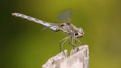 Sympetrum Vulgatum - The Jaw Pose (visualstripes) Tags: dragonfly odonata sympetrumvulgatum sympetrum libel nature insect invertebrate panasonicg1 microfourthirds sigma105mm macro handheld 2019