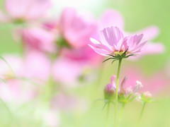 Autumn cherry blossoms (Tomo M) Tags: cosmos 秋桜 flower bokeh autumn 里山ガーデン pastel soft dreamy efs55250mmf456isstm