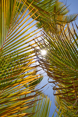 Palm Leaves in the Sun (dmytrenko2) Tags: palms leaves tree trees nature sunlight sun illuminated green colorful blue palm yellow caribbean