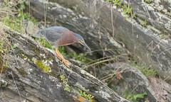 Héron vert // Green Heron (Alexandre Légaré) Tags: héron vert green heron butorides virescens oiseau bird avian animal wildlife nature nikon d7500 quebec canada