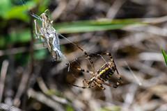_DSC1533 (Inapapel) Tags: 100mm 2019 bioaniztasuna biodiversidad bitxos bizkaia d850 flickr nature nikon arthropoda spider