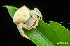 Crab spider (Thomisus sp.) - DSC_8420 (nickybay) Tags: singapore macro mandai zoo crab spider thomisidae thomisus