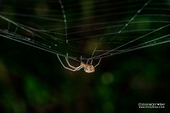 Big-jawed spider (Tylorida ventralis) - DSC_8413 (nickybay) Tags: singapore macro mandai zoo tylorida tetragnathidae bigjawed spider ventralis
