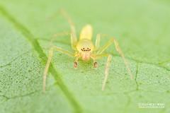 Sac spider (Clubionidae) - DSC_8409 (nickybay) Tags: singapore macro mandai zoo clubionidae sac spider