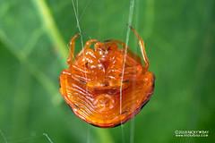 Ladybird spider (Paraplectana sp.) - DSC_9551 (nickybay) Tags: singapore macro lorongladahitam paraplectana ladybird spider araneidae ventral