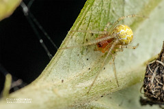 Comb-footed spider (Theridiidae) - DSC_8442 (nickybay) Tags: singapore macro mandai zoo spider combfooted theridiidae