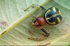Crab spider (Camaricus maugei) - DSC_8434 (nickybay) Tags: singapore macro mandai zoo crab spider camaricus maugei thomisidae prey