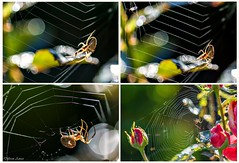 Sometimes Macros show you more than you want to see... Zoom in for gory demise of a midge. (Different Aspects) Tags: hss spider