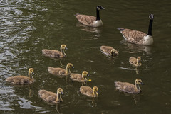 In formation (fotosforfun2) Tags: waterway wings feathers nature nationaltrust basingstokecanal water canal surrey birds canadiangeese canada geese
