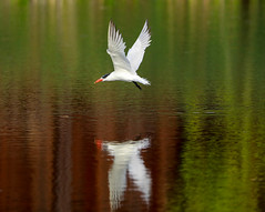 Royal Tern in flight (SusieMSB7) Tags: outdoors nature birds tern royaltern